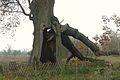 MOs810, WG 2014 66 Puszcza Notecka west (Quercus robur, Lipki Male, monument.JPG