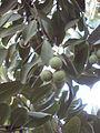 Macadamia tetraphylla - Jardin d'Éden 2.JPG