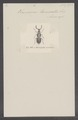 Macrotelus - Print - Iconographia Zoologica - Special Collections University of Amsterdam - UBAINV0274 026 01 0004.tif