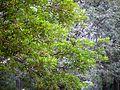 Madhuca longifolia var. longifolia (6941755878).jpg