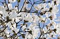 Magnolia (3363206959).jpg