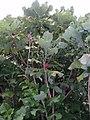 Magnolia macrophylla Michx. (AM AK298968-1).jpg
