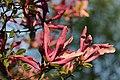 Magnolia sp. (26773111527).jpg