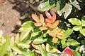 Mahonia aquifolium - Oregonsko grožđe (2).jpg