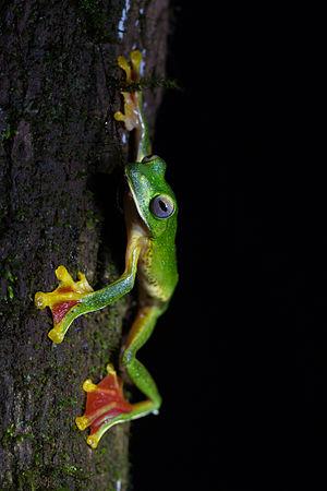 Malabar gliding frog - Male at Amboli Ghat