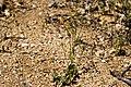 Malacothrix stebbinsii - Flickr - aspidoscelis (2).jpg