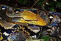 Malayopython reticulatus, Reticulated python - Kaeng Krachan District, Phetchaburi Province (47924282891).jpg