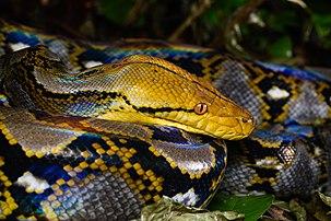 Un python réticulé. (définition réelle 8256×5504)