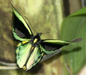Australian Butterfly Sanctuary - Male Cairns birdwing in flight in the aviary