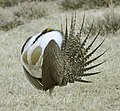Male Greater Sage-Grouse (6928679838).jpg
