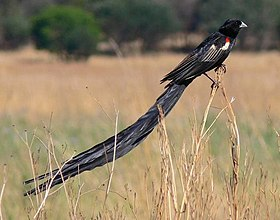 Male Long-tailed Widowbird.jpeg