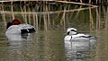 Male Smew and Male Common pochard on the pond - 1.jpg