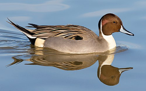 Male northern pintail (Anas acuta) south of Chico, California