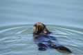 Male sea otter eating a green crab.png