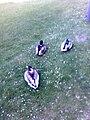Mallard Ducks at Papworth - geograph.org.uk - 1307787.jpg