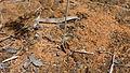 Mallee Fringe Lily base (15424938043).jpg