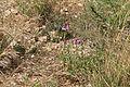 Malta - Marsaxlokk - Triq Xrobb l-Ghagin - Xrobb l-Ghagin - Anacamptis pyramidalis 01 ies.jpg