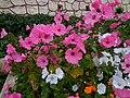 Malvaceae flowers - sony cam.jpg