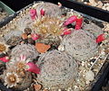 Mammillaria magallanii fruits.jpg