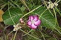 Mandevilla callista (Apocynaceae) (45001645685).jpg