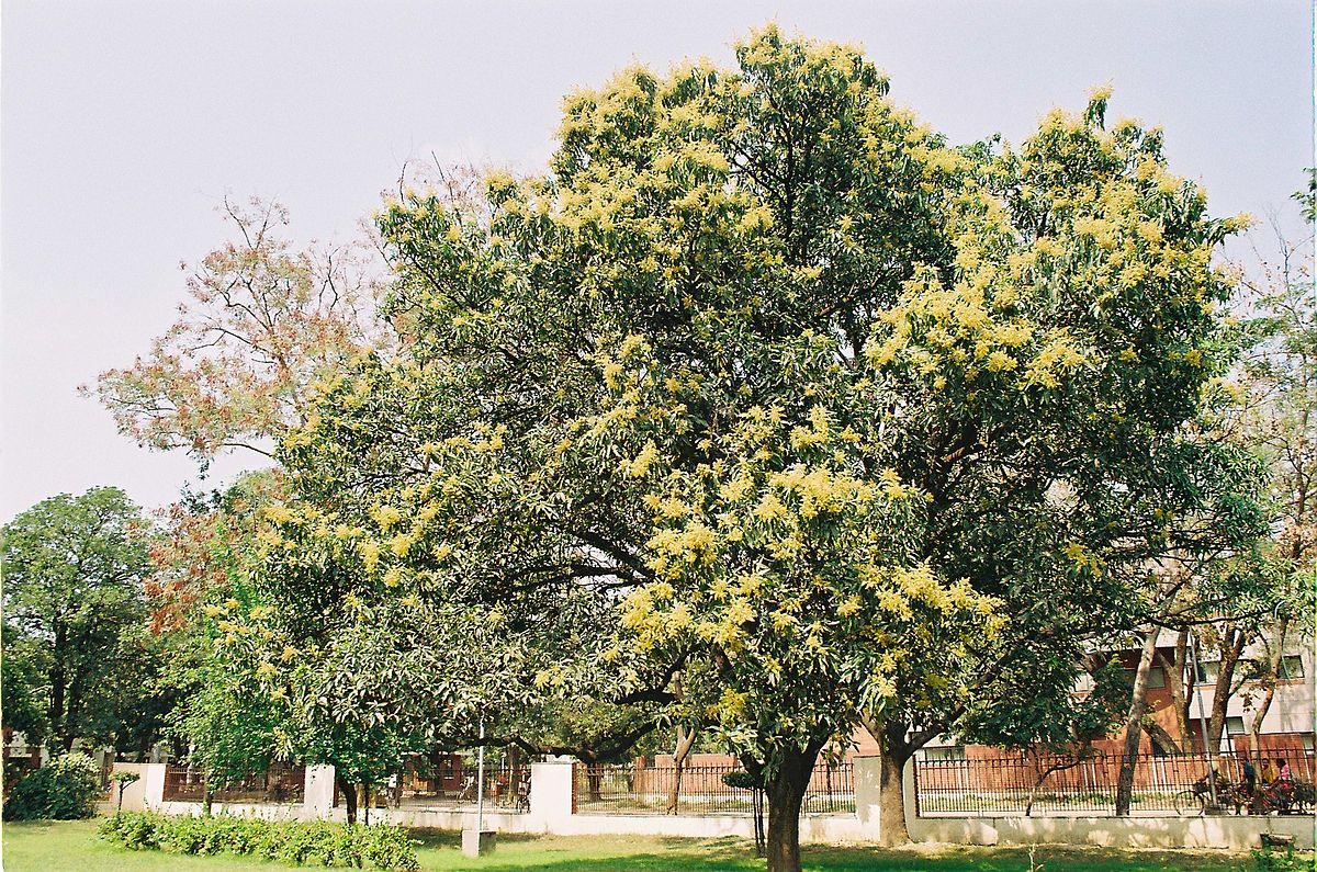 Mangobaum ziehen