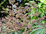 Mango powdery mildew flowers 2.jpg