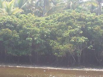 Mangroove ecosystem 01.jpg