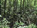 Mangrove Stilt Roots (Rhizophora sp.) (8441001082).jpg