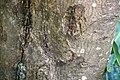 Manilkara hexandra 1zz.jpg