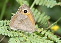 Maniola jurtina - Meadow brown, Giresun 2018-08-20 2.jpg