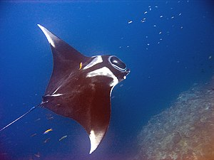 Manta Ray (Manta birostris) at Hin Daeng, Thai...
