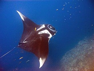 Giant oceanic manta ray - Image: Manta birostris Thailand 4