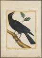 Manucodia viridis - - Print - Iconographia Zoologica - Special Collections University of Amsterdam - UBA01 IZ15800007.tif