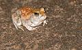 Marbled Sand Frog (Tomopterna marmorata) (16723373703).jpg