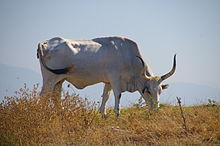 Maremmana cattle 2008.jpg