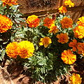 Marigolds growing in South Africa.JPG
