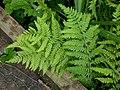 Marsh Fern Thelypteris palustris (6166049678).jpg