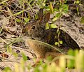 Marsh Rabbit at Smyrna Dunes Park - Flickr - Andrea Westmoreland.jpg