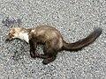Martes foina (roadkill).jpg