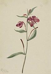Red Willowweed (Epilobium latifolium)