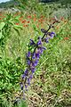 Meadow Clary. Sylvia pratensis - Flickr - gailhampshire.jpg