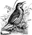 Meadowlark-Birdcraft-0028-1.png