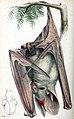 Megaderma gigas PZS 1880 pl46.jpg