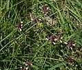 Melampyrum cristatum 3.jpg