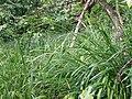 Melica uniflora sl1.jpg