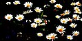 Memory of Daisies (250446902).jpg