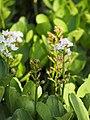 Menyanthes trifoliata Bobrek trójlistkowy 2018-04-28 02.jpg