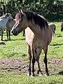 Merfeld, Wildpferdefang -- 2014 -- 0343.jpg