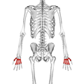 Metacarpal bones 02 dorsal view.png