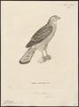Micronisus badius - 1700-1880 - Print - Iconographia Zoologica - Special Collections University of Amsterdam - UBA01 IZ18300157.tif